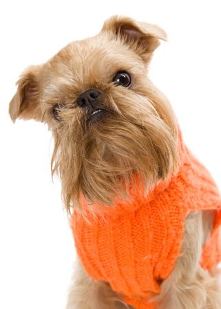 griffon bruxellois: The portrait of puppy of the Griffon Bruxellois dressed in an orange sweater Stock Photo
