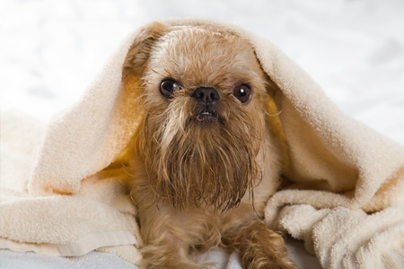 Griffon Bruxellois dog breeds after bathing, wrapped in a towel. photo