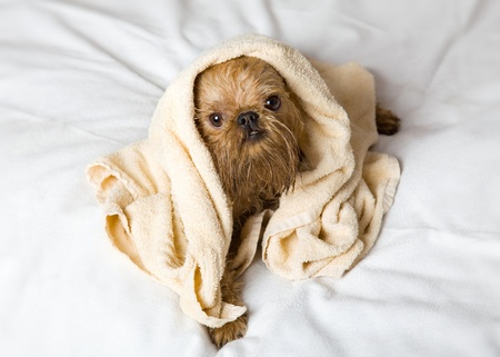 griffon bruxellois: Griffon Bruxellois dog breeds after bathing, wrapped in a towel. Stock Photo