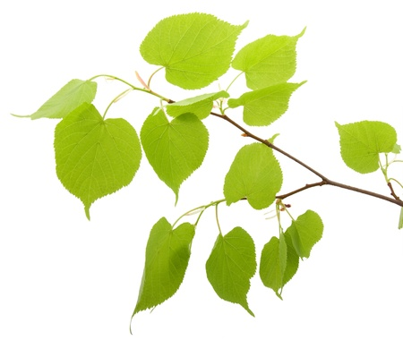 Branch of birch with young green leaves isolated on white background without shadow