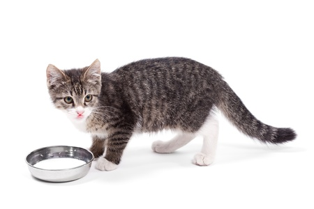 gray cat: The small kitten drinks milk, is isolated on a white background Stock Photo