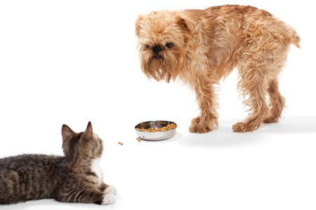 brussels griffon: Kitten and puppy share food, isolated on white background