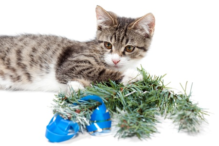 Striped kitten and pine branch on a white background Stock Photo - 10671914