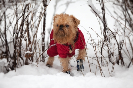 brussels griffon: Dog of breed the brussels griffon  walks in the winter in a warm jacket and boots. Stock Photo