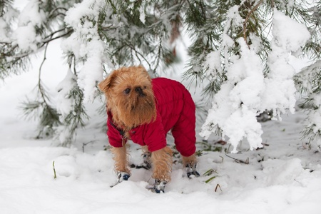 brussels griffon: Dog in a red jacket and shoes in winter walk Stock Photo