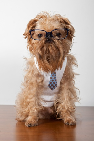 Serious dog in glasses and a shirt with a tie photo