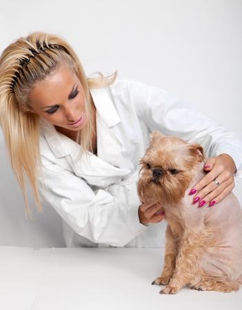 griffon bruxellois: Veterinarian inspects a little dog breed Griffon Bruxellois