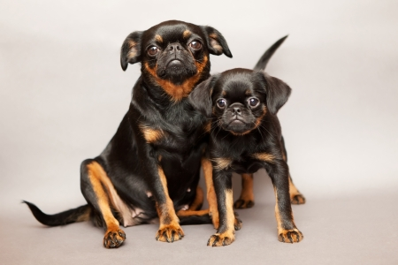 Puppy and mother of breed Griffon Brabanson photo