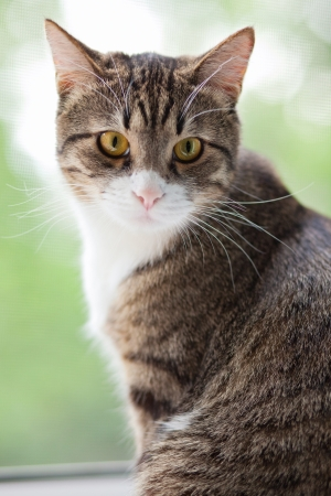 Striped, gray cat with yellow eyes sitting on the window Stock Photo - 14220246