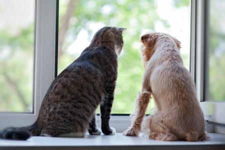 dog days: Gato a rayas, gris y un perro sentado en la ventana Foto de archivo