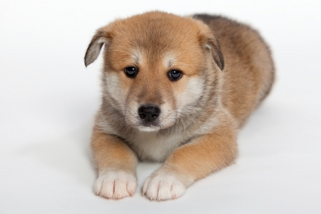 huskies: Small, pudgy puppy huskies and husky, a mixture of breeds Stock Photo