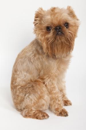 brussels griffon:  Portrait dog breed Brussels Griffon orange color Stock Photo