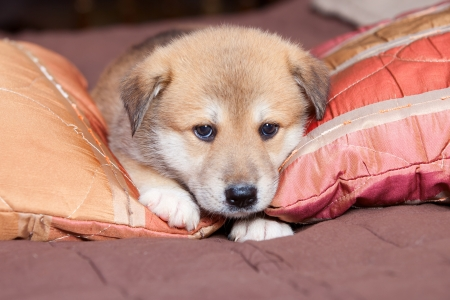 Small, yellow puppy huskies and akita on the bed photo