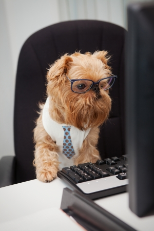 griffon bruxellois: Dog Manager works for a computer, looking at the monitor