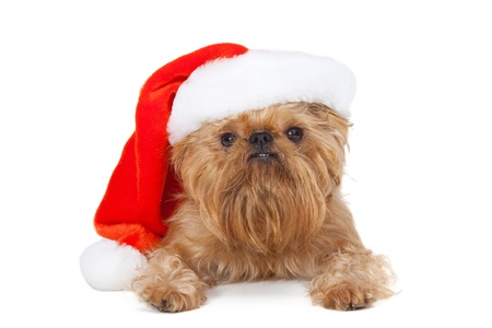 Dog Dog breeds Bruxellois Griffon with a Christmas hat Stock Photo - 15076533
