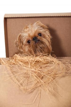 griffon: Dog breeds Bruxellois Griffon in a cardboard box