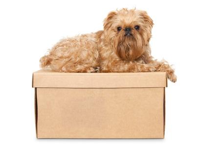 griffon bruxellois: Dog breeds Brussels Griffon on a cardboard box