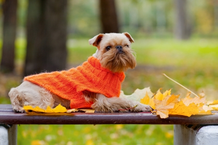 brussels griffon: Dog of breed the Brussels griffon sits in a park in autumn