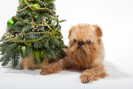 griffon bruxellois: Dog breeds Brussels Griffon lies near the Christmas tree Stock Photo