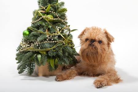 brussels griffon: Dog breeds Brussels Griffon lies near the Christmas tree Stock Photo