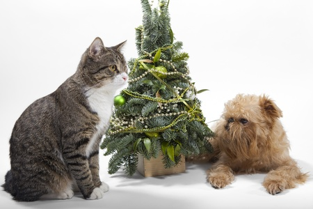 Dog breeds Brussels Griffon and cat lies near the Christmas tree photo