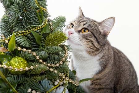 Striped, domestic cat and green Christmas tree Stock Photo