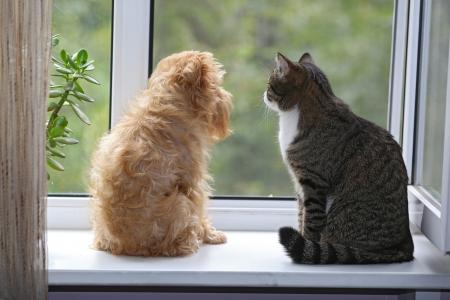 Gestreepte, grijze kat en hond zit op het raam Stockfoto