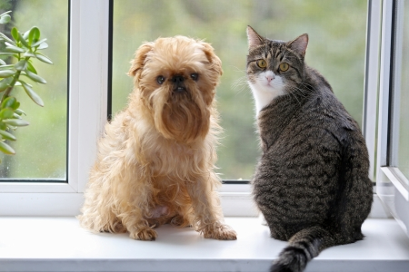 Striped, gray cat and dog  sitting on the window photo