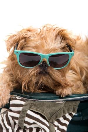 griffon bruxellois: Dog ready for vacation, isolated on white background Stock Photo