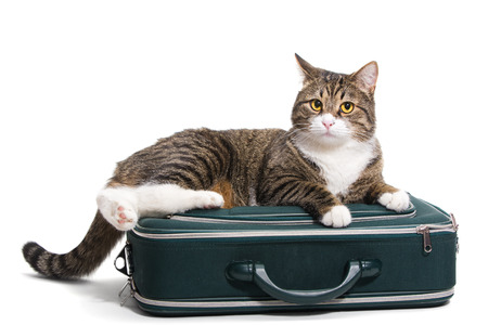 Grey cat sitting in a green suitcase, white background photo