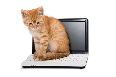 Red striped kitten stretches standing on the laptop