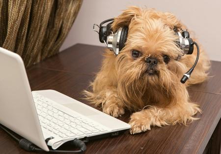 griffon bruxellois: Dog breed Griffon Bruxellois sits near the laptop headphones