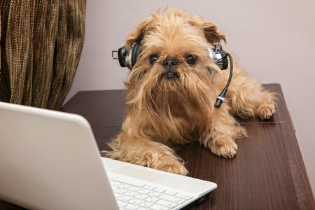Dog breed Griffon Bruxellois sits near the laptop headphones photo