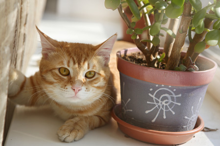 Red cat lies on the windowsill next to the flower pot