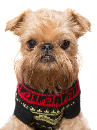 griffon bruxellois: Brussels Griffon in a sweater, isolated on white background