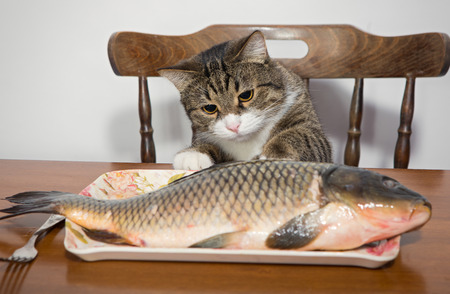 Grey cat and a big fish on a plate