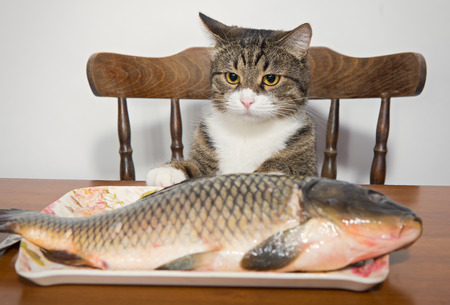 Grey cat and a big fish on a plate photo