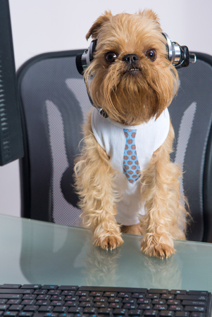griffon bruxellois: Dog breed Griffon Bruxellois sits near the computer headphones