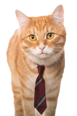 Very serious orange cat with a red tie photo