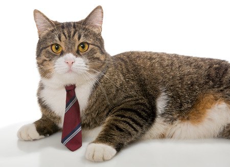 Serious big grey  cat with a red tie photo
