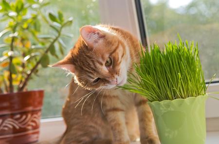 munching: Cat sniffing and munching a vase of fresh catnip Stock Photo