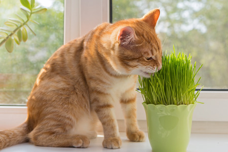 Cat sniffing and munching a vase of fresh catnip Stock Photo