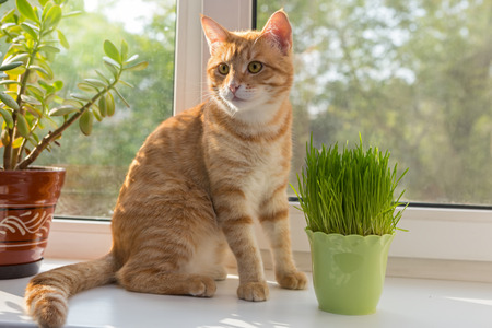 catnip: Cat sniffing and munching a vase of fresh catnip Stock Photo