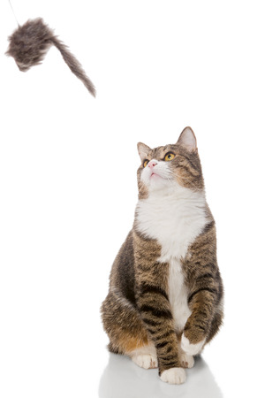 grey tabby: Grey tabby cat playing with a toy, on a white background