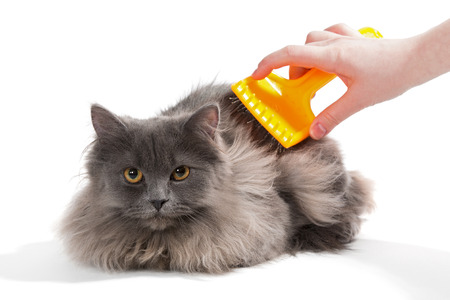 persian cat: Womens hand brushed  fluffy cat, isolated on white