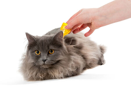 Proteggere il gatto da zecche e pulci, isolato su sfondo bianco