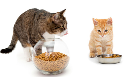 Big cat and little kitten eat dry food