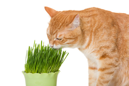 Red cat eats green grass, isolated on white photo