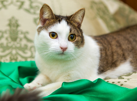 coverlet: Domestic cat is lying on the coverlet of the bed