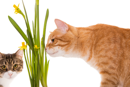 Orange and grey cats sniff daffodils, isolated on white Stock Photo